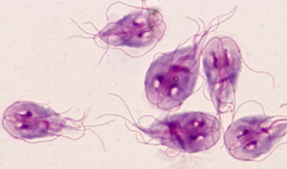 Lamblia paraziti tedavisi - nucleus-mc.ro - Lamblia paraziti tedavisi
